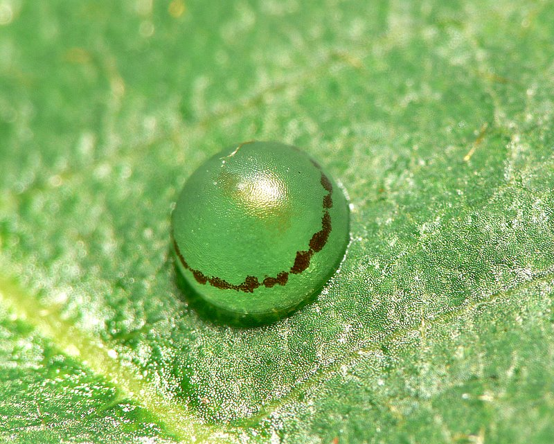 Blue Morpho Butterfly Egg pic 1