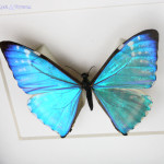 Blue Morpho Butterfly Framed , 7 Blue Morpho Butterfly Specimen In Butterfly Category