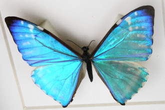 Blue Morpho Butterfly Framed in Skeleton