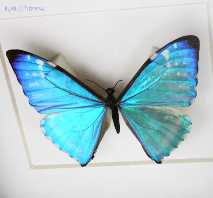 Butterfly , 7 Blue Morpho Butterfly Specimen : Blue Morpho Butterfly Framed