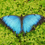 Blue Morpho Butterfly image for desktop , 6 Blue Morpho Butterfly Wallpapers In Butterfly Category
