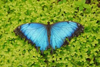 Blue Morpho Butterfly Image For Desktop , 6 Blue Morpho Butterfly Wallpapers In Butterfly Category