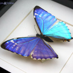 Blue Morpho Butterfly specimen for study , 7 Blue Morpho Butterfly Specimen In Butterfly Category