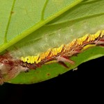 Blue Morpho Caterpillar , 6 Blue Morpho Caterpillar Photos In Butterfly Category