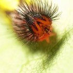 Blue Morpho Caterpillar photo , 6 Blue Morpho Caterpillar Photos In Butterfly Category