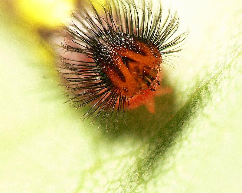 Blue Morpho Caterpillar photo