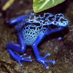 Blue Poison Dart Frog , 5 Poison Arrow Frog Rainforest Animals In Amphibia Category