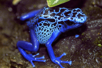 Blue Poison Dart Frog in Forest
