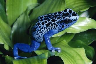 Blue Poison Dart Frog  Endangered Of The Rainforest , 7 Endangered Animals In The Amazon Rainforest In Animal Category