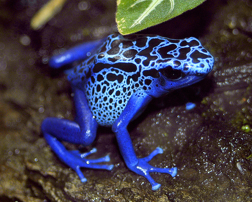 Amphibia , 5 Poison Arrow Frog Rainforest Animals : Blue Poison Dart Frog