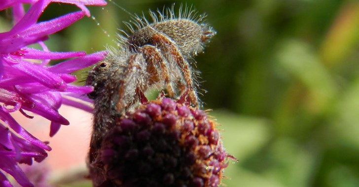 Spider , 6 Commons Brown Hairy Spider : Brown Hairy Spider Pictures