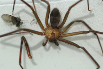 Brown Recluse Spider Pictures in Laboratory