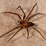 Brown Spiders Found in Florida , 6 Brown Spider Florida In Spider Category