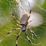 Brown Widow Spider from Florida pic 1 , 5 Pictures Of Brown Widow Spider Florida In Spider Category