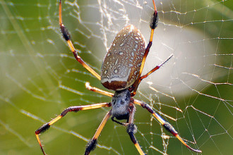 Brown Widow Spider from Florida pic 1 in Birds