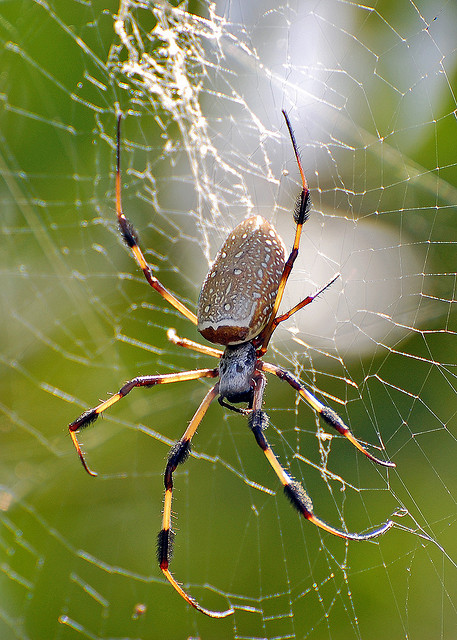 Brown Widow Spider from Florida pic 1