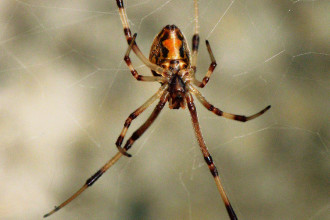 Brown Widow Spider from Florida pic 2 in Human