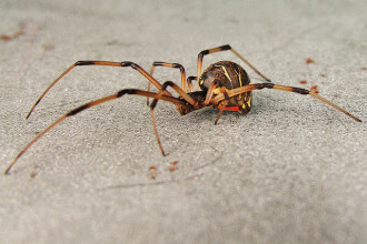 Brown Widow Spider From Florida Pic 3 , 5 Pictures Of Brown Widow Spider Florida In Spider Category