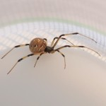Brown Widow Spider from Florida pic 5 , 5 Pictures Of Brown Widow Spider Florida In Spider Category