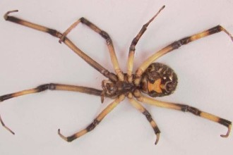 Brown Widow Spider From Florida Pic 6 , 5 Pictures Of Brown Widow Spider Florida In Spider Category