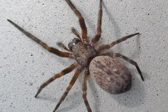 Brown House Spider Badumna Longinqua , 10 Brown House Spider In Spider Category