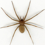 Brown recluse spider , 8 Brown Reclus Spider Photos In Spider Category