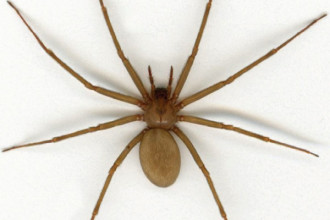 Brown recluse spider in Muscles