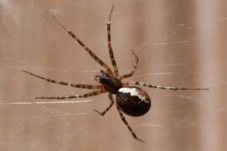 Brown spider white stripes in Muscles