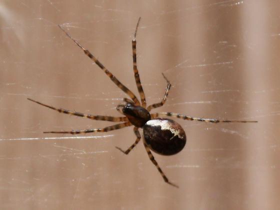 Spider , 7 Brown And White Spider Photos : Brown Spider White Stripes
