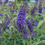 Buddleja davidii Butterfly Bush , 6 Empire Blue Butterfly Bush Pictures In Plants Category