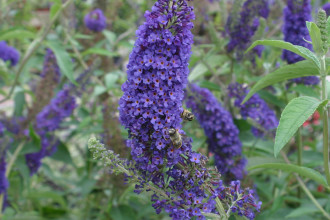 Buddleja davidii Butterfly Bush in Spider