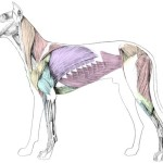 Canine musculature , 4 Canine Anatomy Muscles Pictures In Muscles Category