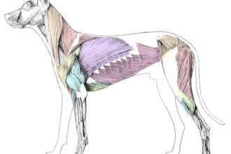 Canine musculature in Dog