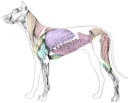 Canine musculature