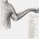 Cat Muscles Lab Guide , 5 Cat Muscle Anatomy Diagram In Muscles Category