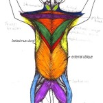 Cat Muscles Ventral Region Key , 5 Cat Muscle Anatomy Diagram In Muscles Category