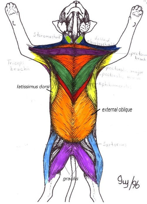 Muscles And Body Movement Coloring Pages Learny Kids