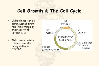 Cell Cycle in Organ