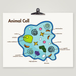 Cell Diagram Print for children , 4 Facts About Animal Cells For Kids In Cell Category