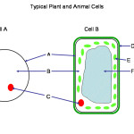 Cells quiz , 6 Animal And Plant Cell Quiz In Cell Category