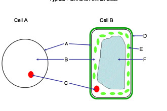 Cell , 6 Animal And Plant Cell Quiz : Cells quiz