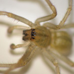 Cheiracanthium mildei pictures , 8 Yellow Sac Spider Pictures In Spider Category