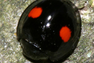 Chilocorus Kuwanae Lady Beetle , 6 Lady Bug Beetles In Beetles Category