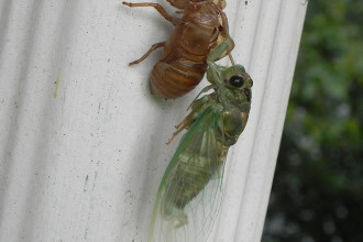Cicada Bug Molting Picture , 6 Cicada Bug Pictures In Bug Category