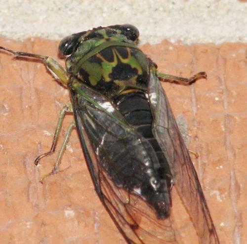 Cicada Bugs 2013