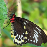 Common Birdwing Butterfly captures , 6 Common Birdwing Butterfly Pictures In Butterfly Category