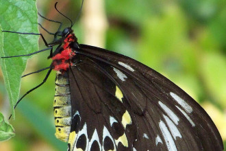 Common Birdwing Butterfly Captures , 6 Common Birdwing Butterfly Pictures In Butterfly Category