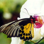 Common Birdwing Butterfly picture , 6 Common Birdwing Butterfly Pictures In Butterfly Category