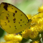 Common Grass Yellow Butterfly pic 1 , 6 Common Grass Yellow Butterfly Pictures In Butterfly Category