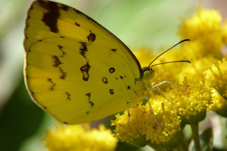 Butterfly , 6 Common Grass Yellow Butterfly Pictures : Common Grass Yellow Butterfly pic 1
